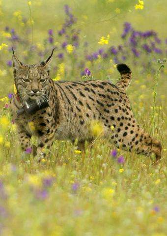 An Iberian lynx Lava looks around after being released on a farm near the village of Mazarambros near Toledo as part of an initi