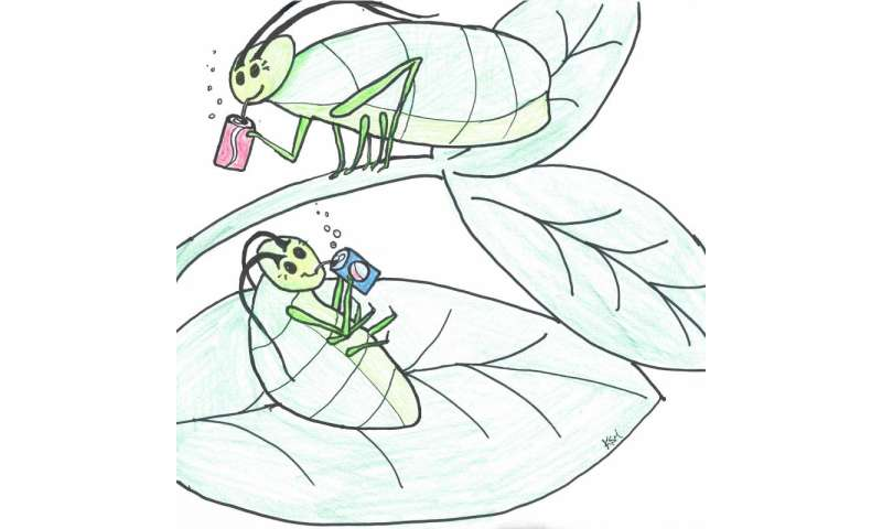 Aphids balance their diets by rebuilding plant amino acids