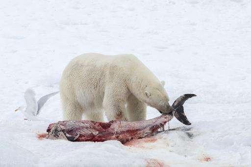 A polar bear eats a white-beaked dolphin in the Raudfjorden fjord, on the northwestern coast of the Norwegian archipelago of Sva