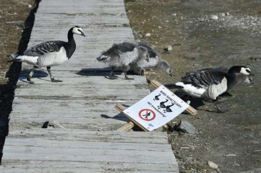 Barnacle geese walk past a sign in the scientific base of Ny Alesund in the Svalbard archipelago