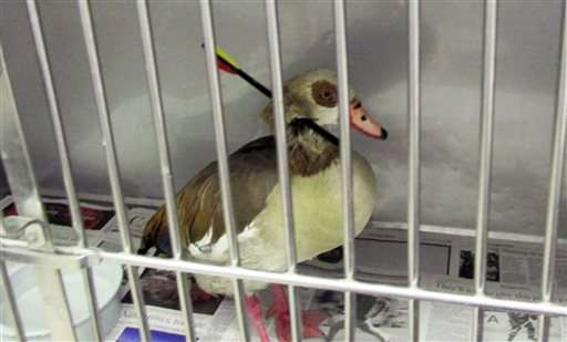 California goose with arrow piercing neck dies after surgery