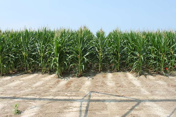 Clemson scientists stopping small insects from doing big damage to corn