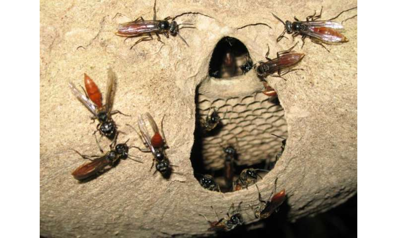 Do insect societies share brain power?