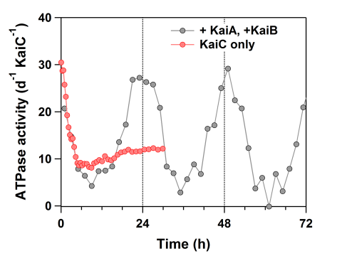 Earth's daily rotation period encoded in an atomic-level protein structure