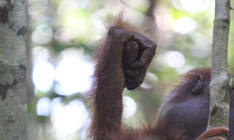 Endangered orangutans face a new threat