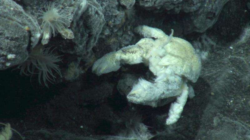 First species of yeti crab found in Antarctica named after British deep-sea biologist