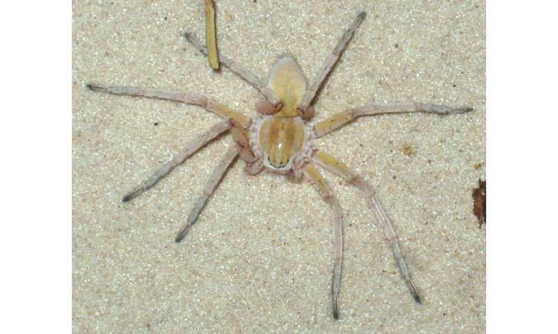 Four new species of huntsman spiders have been discovered in southern Africa