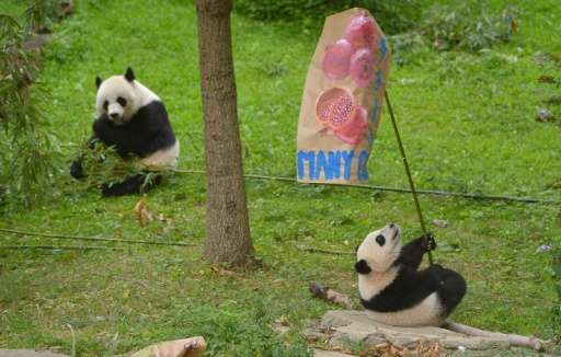 Giant Panda Mei Xiang, who gave birth to twin cubs at the Smithsonian National Zoo in Washington, is shown in a file picture fro