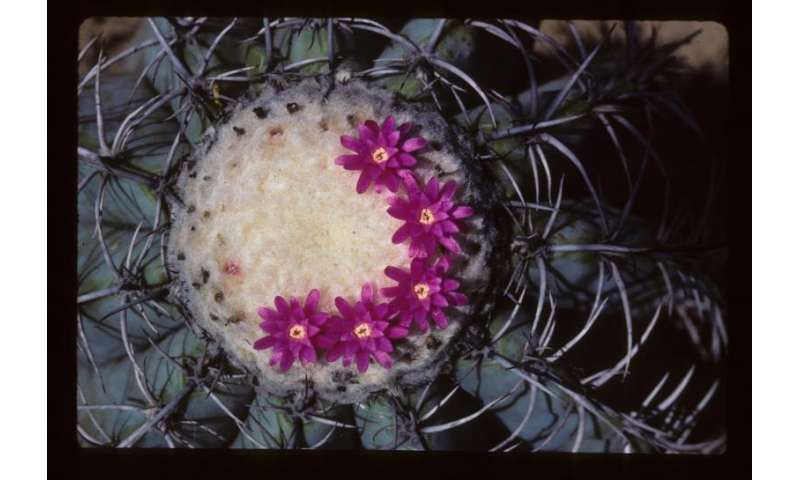 Illegal trade contributes to placing cacti among world's most threatened species