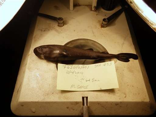 Jaws meets kangaroo? Rare, cute pocket shark found in deep
