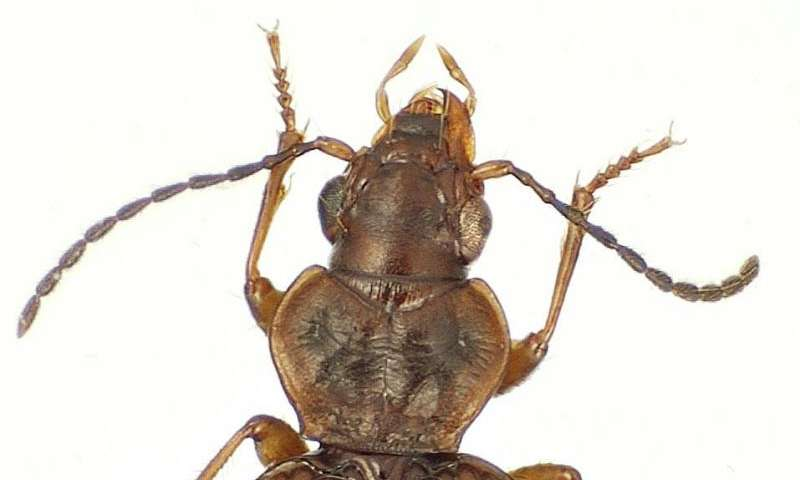 Lava attraction: 74 new beetle species found hiding in plain sight on a Hawaiian volcano