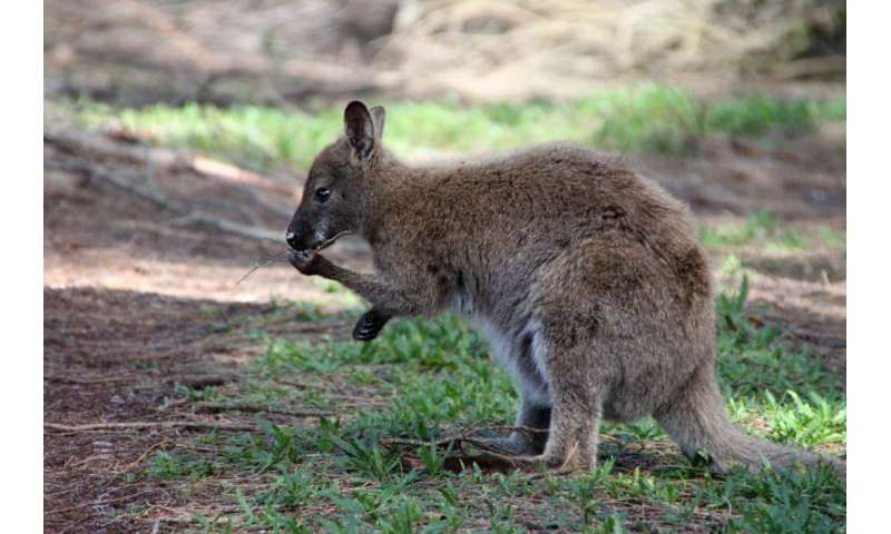 Lefties are all right with kangaroos