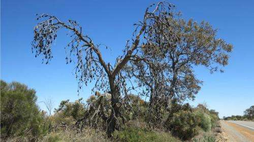 Legwork needed to chronicle Banksia resilience