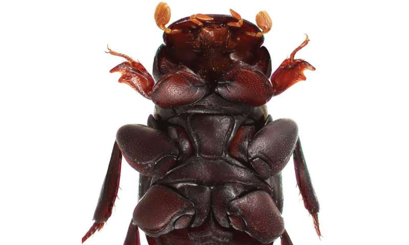 Love conquers all: A new beetle species from Cambodia named after Venus