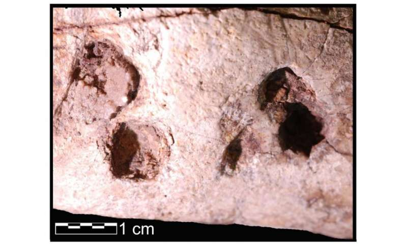 Marks on 3.4-million-year-old bones not due to trampling, analysis confirms
