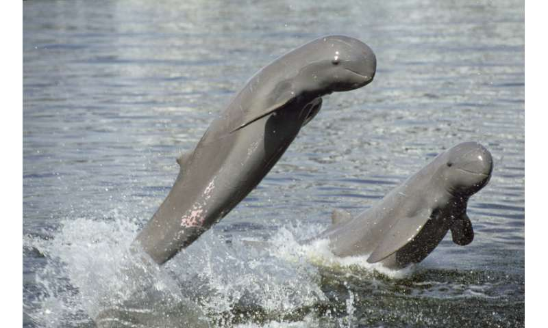 Mekong River dolphin death reduces Lao population to five