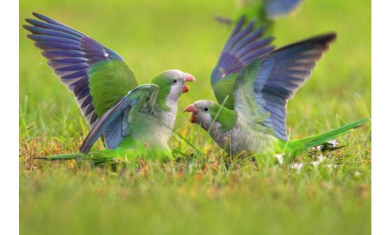 Mental math helps monk parakeets find their place in pecking order