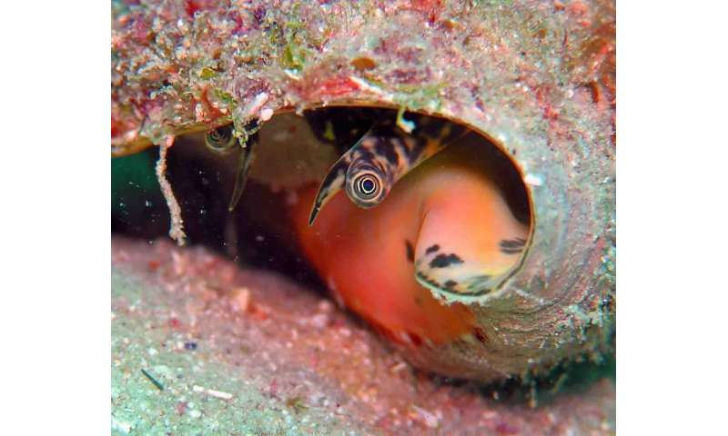 Microalgae increases the survival of juvenile queen conch