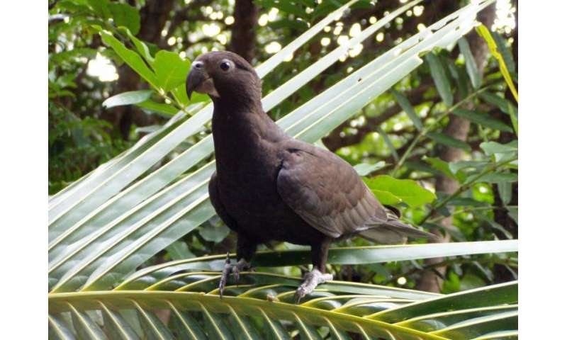 Greater Vasa Parrot
