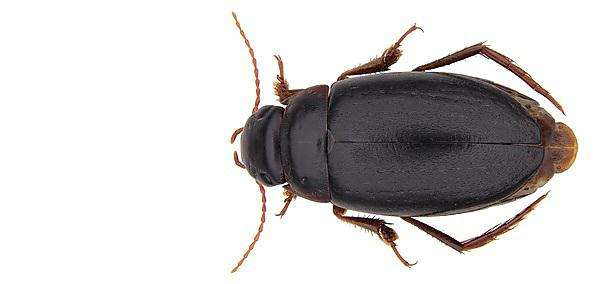 New species of diving beetle -- Capelatus prykei -- discovered in isolation in South Africa