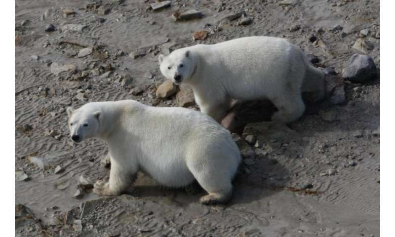 Polar bears may survive ice melt, with or without seals