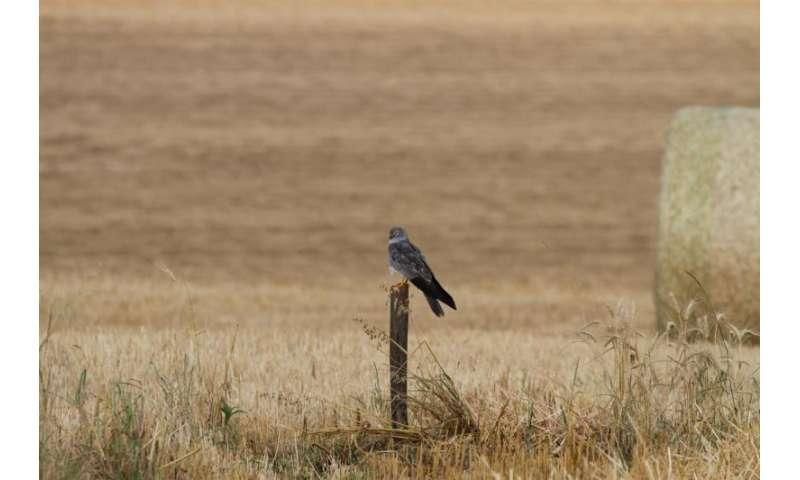 Public raises alarm about ineffectiveness of some Montagu's harrier conservation measures