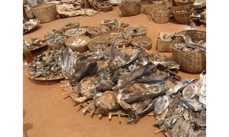 Raptors in West and Central Africa threatened by trade for bushmeat and fetish