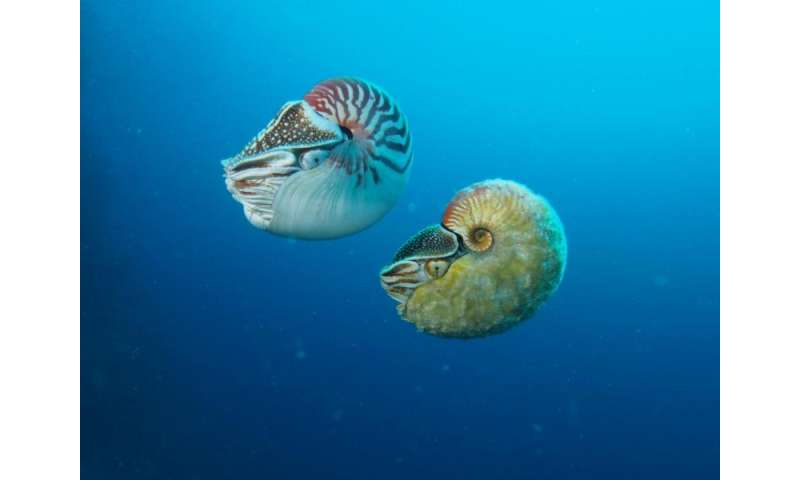 Rare nautilus sighted for the first time in three decades