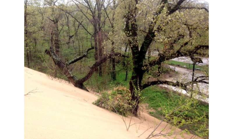 Rotting oaks lead to hazardous voids in Indiana's mount baldy sand dune