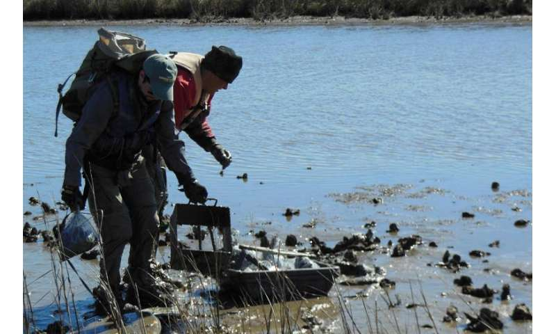 Saving oysters' future by digging up their paleo past