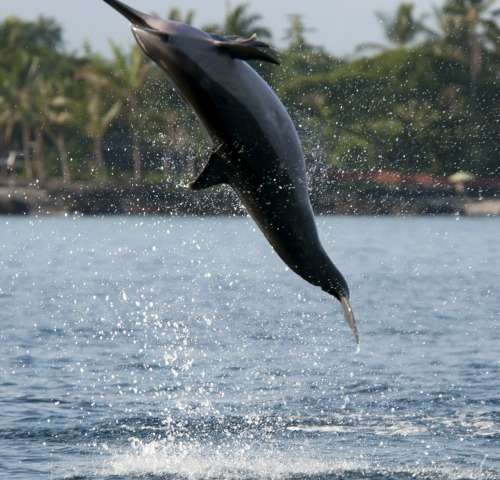 Scheduled bay closures proposed to protect Hawaiian spinner dolphins
