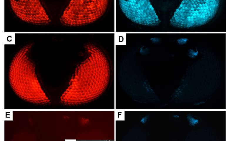 Researchers Show How Specific Gene >> Scientists Successfully Edit Genes Of Dengue Fever Mosquitoes