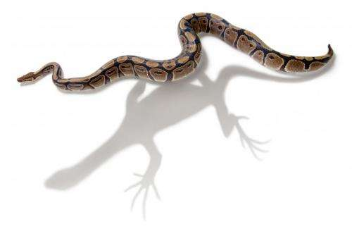 Study puts new perspective on snake evolution