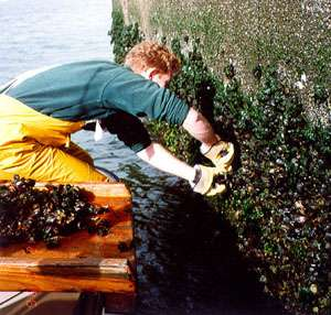 Study shows oysters, mussels have low levels of disease, parasites