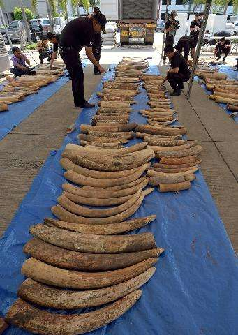 Thai customs officers inspect confiscated elephant tusks during a press conference at the Customs Bureau in Bangkok on April 27,