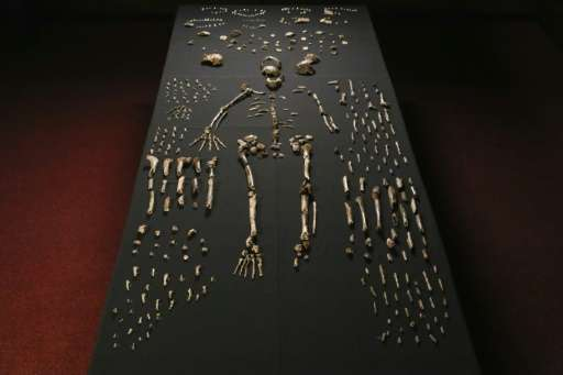 The skeleton of Homo naledi pictured in the Wits bone vault at the Evolutionary Studies Institute at the University of the Witwa