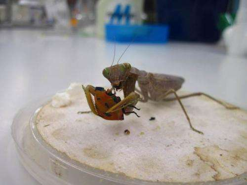To avoid mantids, stinkbugs evolved to hide in plain sight