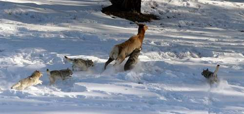 Video: Understanding the ecological role of wolves in Yellowstone National Park