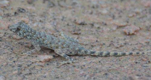 Why some geckos lose their ability to stick to surfaces