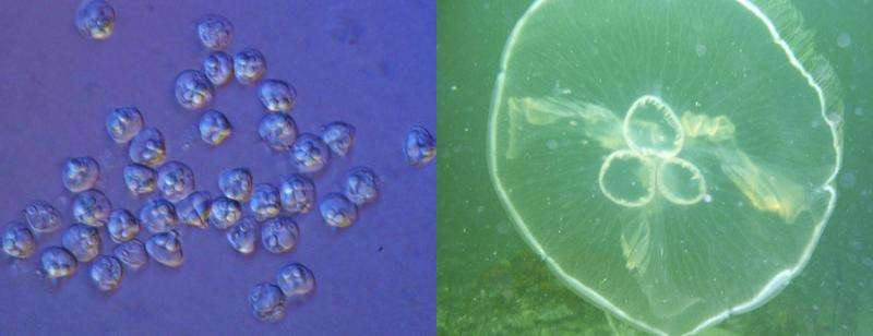 Researchers sequence genomes of parasite that is actually a 'micro jellyfish'
