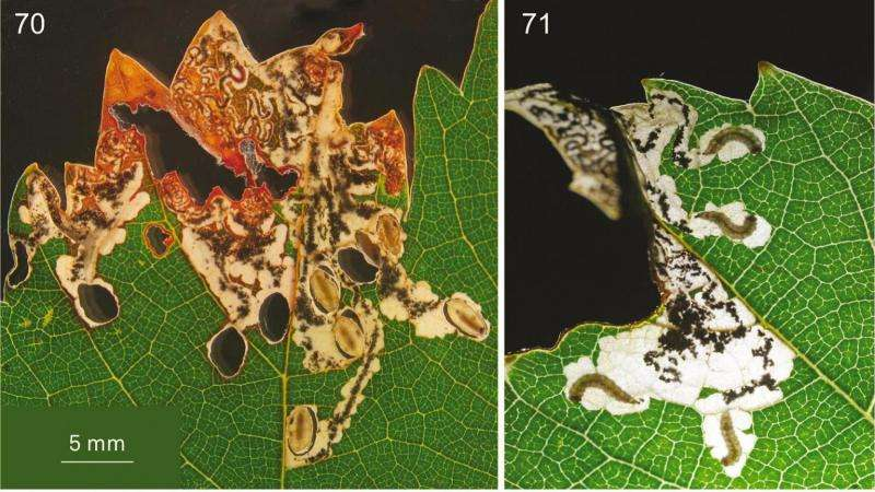 New species of leafminer on grapevine in Western Cape came from wild grapes