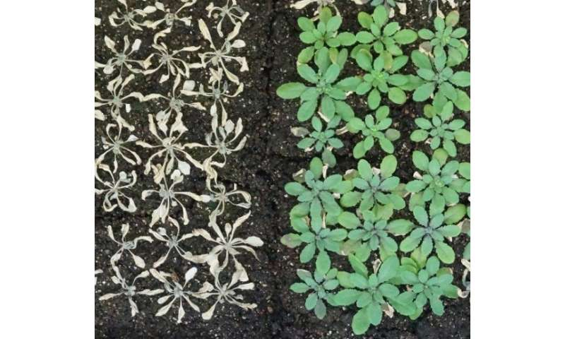 Scientists reveal underpinnings of drought tolerance in plants