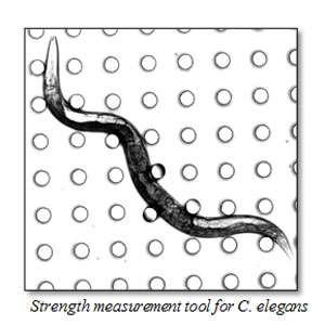 Researchers to send worms into space for muscle mass and strength study