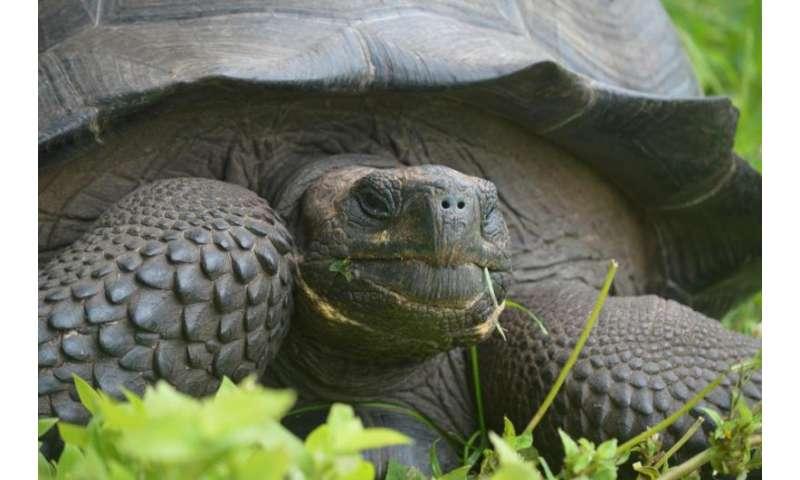 Scientists identify new Galapagos giant tortoise species