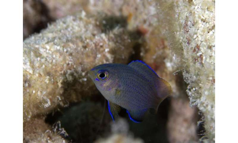 New study showed spawning frequency regulates species population networks on coral reefs