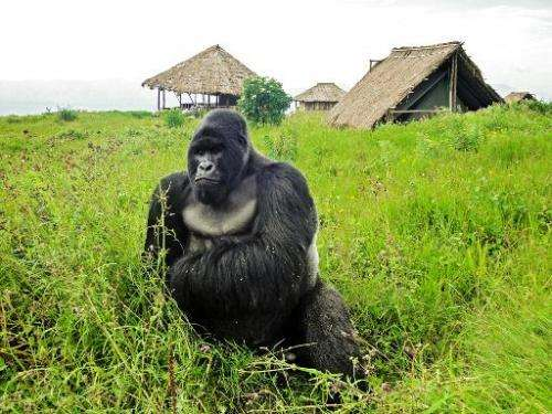 A mountain gorilla from the Kabirizi family at Virunga National Park waits for the rain to stop, April 7, 2011