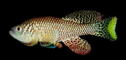 A new model organism for aging research: The short-lived African killifish