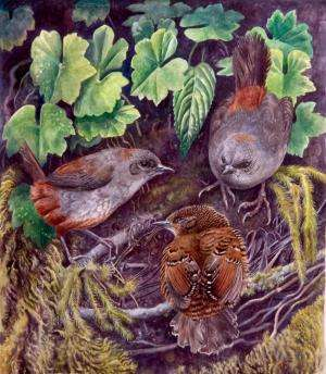A new species of tapaculo in South America