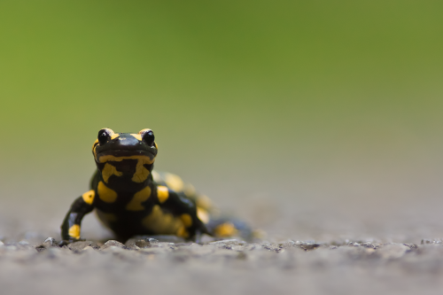 Citizen science for salamanders in Southwest New Hampshire
