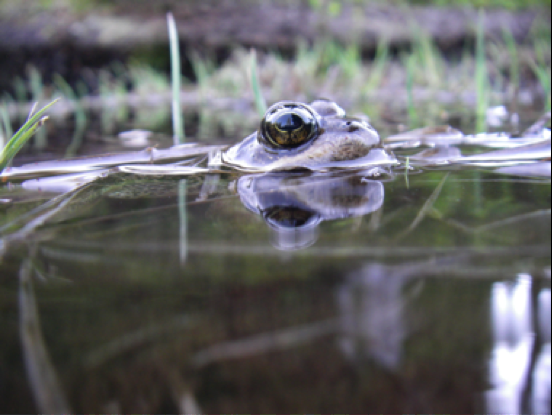 Climate change could leave Pacific Northwest amphibians high and dry